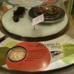 تصویری از سکه بیست سنتی و یک پلاتیچوس در موزه ملی استرالیا
